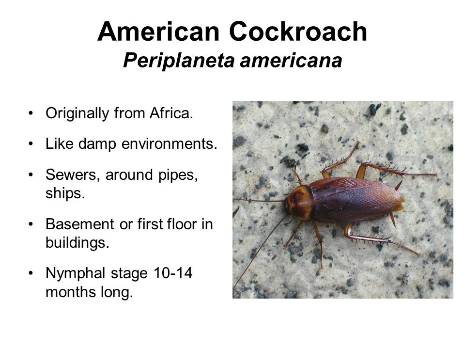 American Cockroach Periplaneta americana Originally from Africa.