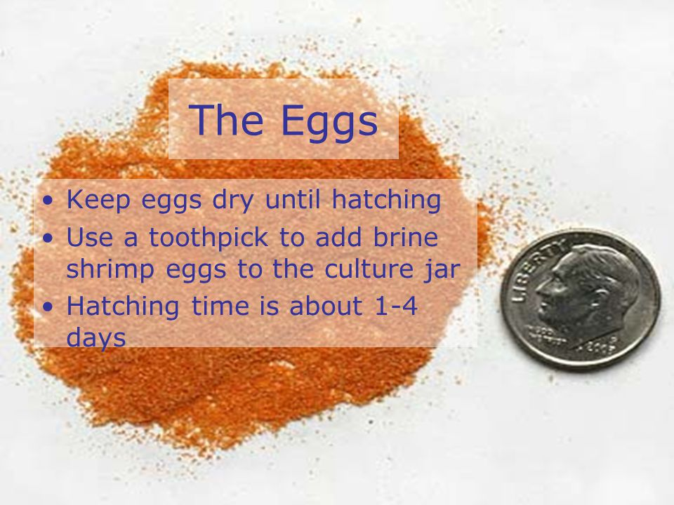 The Eggs Keep eggs dry until hatching Use a toothpick to add brine shrimp eggs to the culture jar Hatching time is about 1-4 days