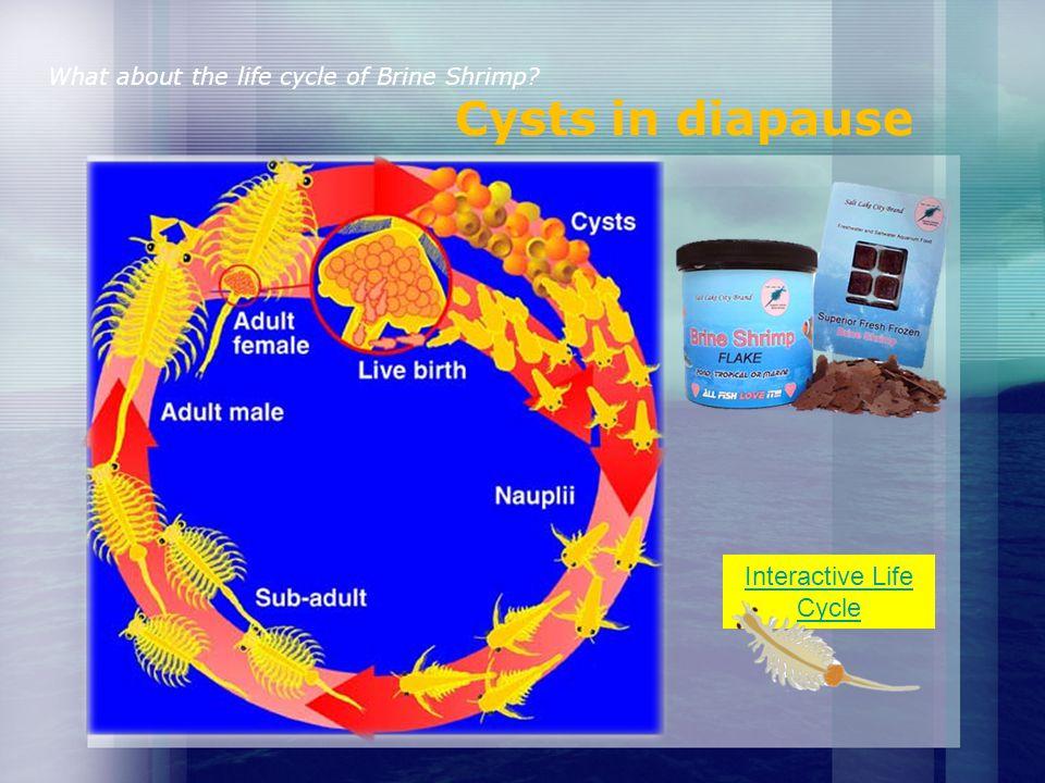 What do Brine Shrimp eat? Bacteria, algae, small particles of matter
