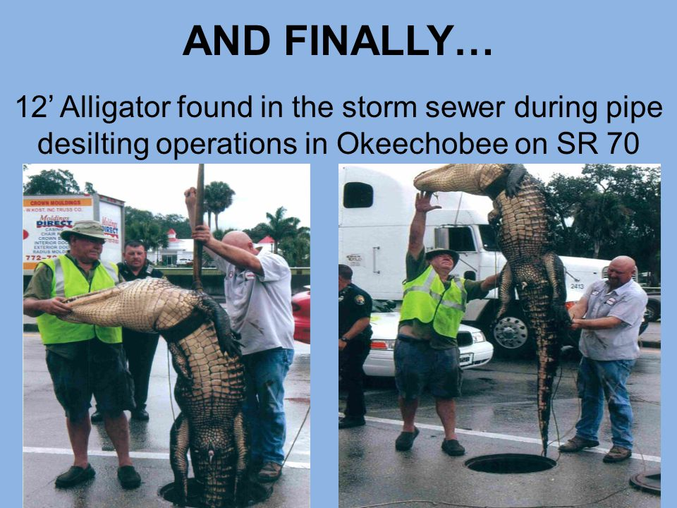 AND FINALLY… 12' Alligator found in the storm sewer during pipe desilting operations in Okeechobee on SR 70