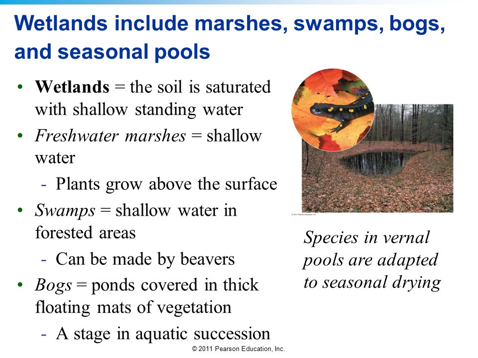 © 2011 Pearson Education, Inc. Wetlands include marshes, swamps, bogs, and seasonal pools Wetlands = the soil is saturated with shallow standing water