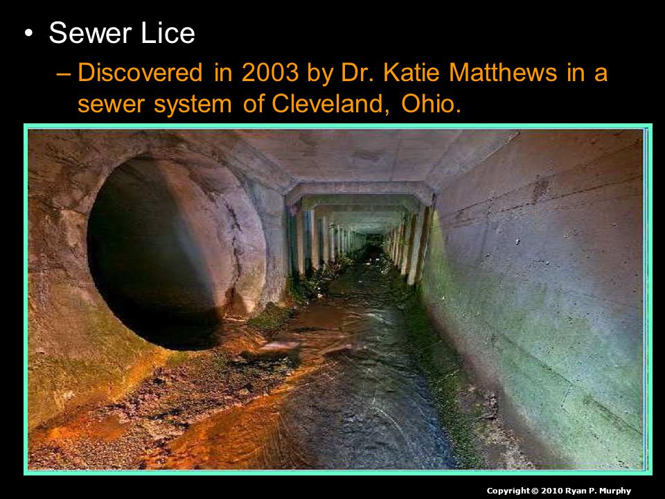 Sewer Lice –Discovered in 2003 by Dr. Katie Matthews in a sewer system of Cleveland, Ohio.