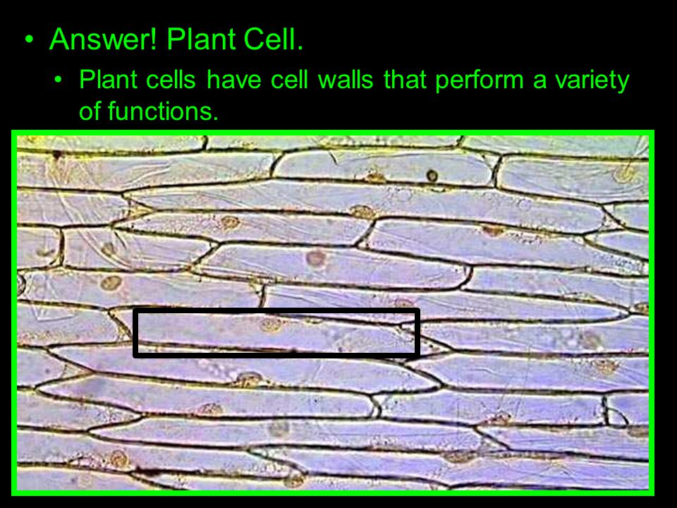 Answer! Plant Cell. Plant cells have cell walls that perform a variety of functions.