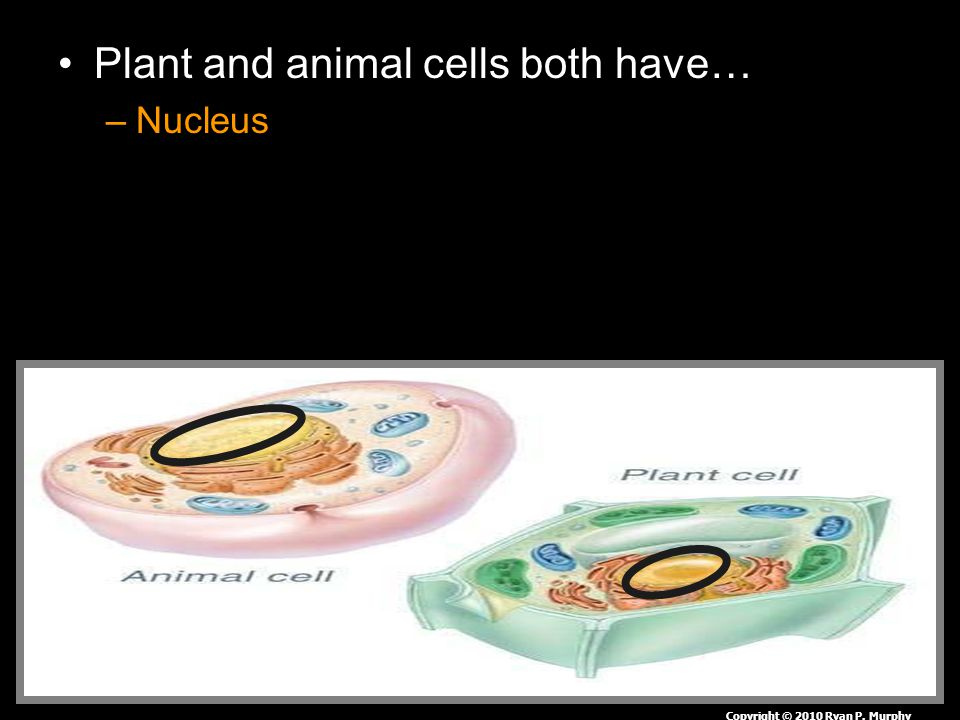 Plant and animal cells both have… –Nucleus Copyright © 2010 Ryan P. Murphy