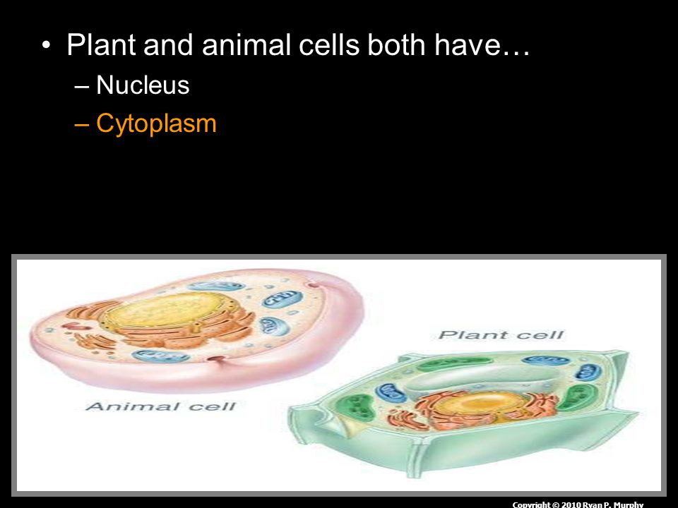 Plant and animal cells both have… –Nucleus –Cytoplasm Copyright © 2010 Ryan P. Murphy