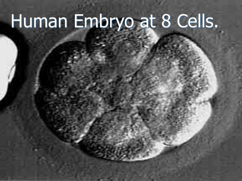 Human Embryo at 8 Cells.