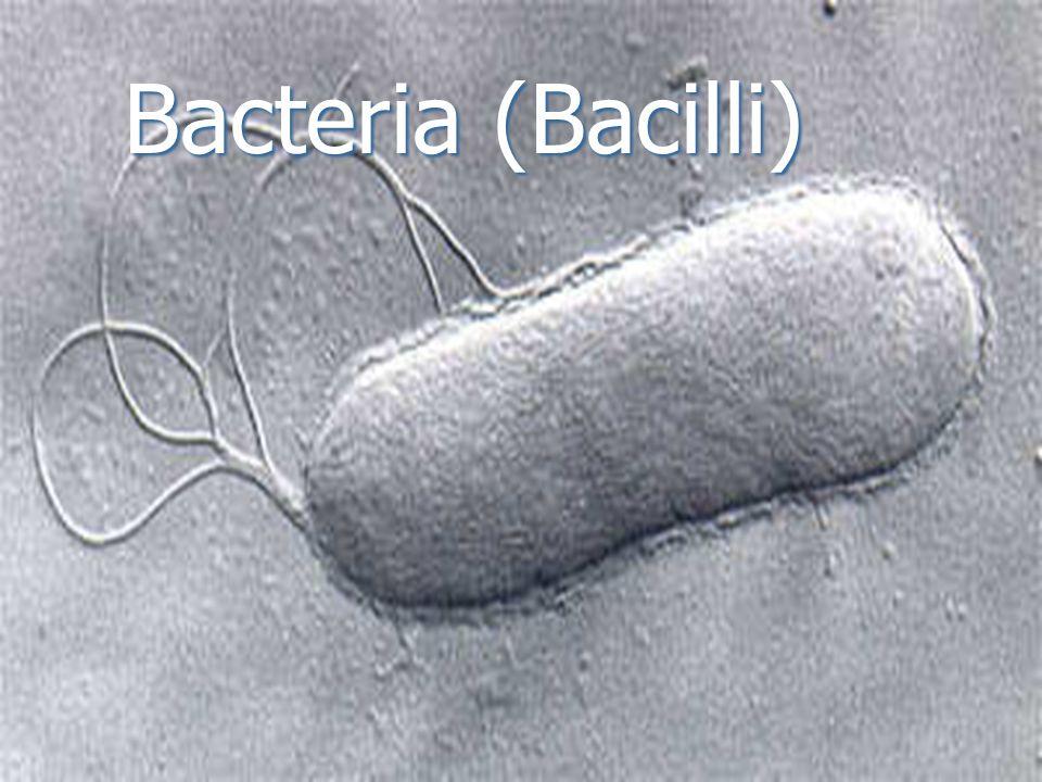 Bacteria (Bacilli)