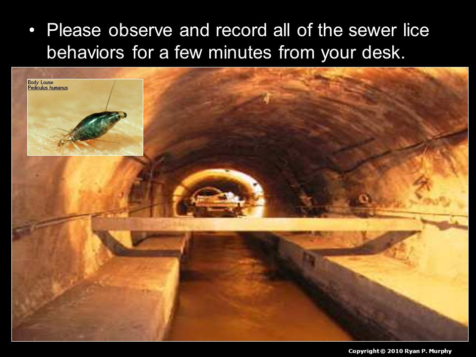 Please observe and record all of the sewer lice behaviors for a few minutes from your desk. Copyright © 2010 Ryan P. Murphy