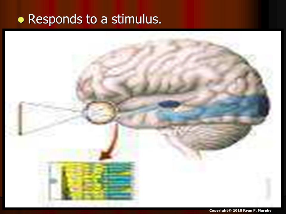 Responds to a stimulus. Responds to a stimulus. Copyright © 2010 Ryan P. Murphy