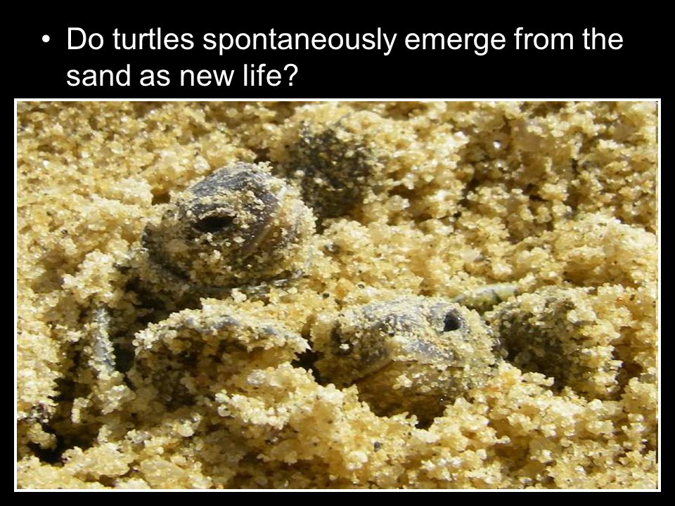 Do turtles spontaneously emerge from the sand as new life?