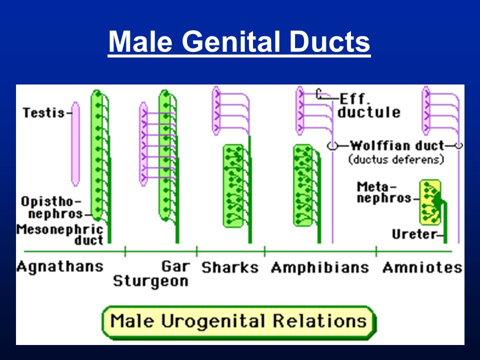Male Genital Ducts