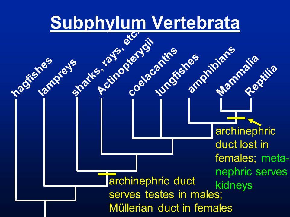 Subphylum Vertebrata hagfishes lampreys sharks, rays, etc. Actinopterygii coelacanths lungfishes amphibians Mammalia Reptilia archinephric duct lost i