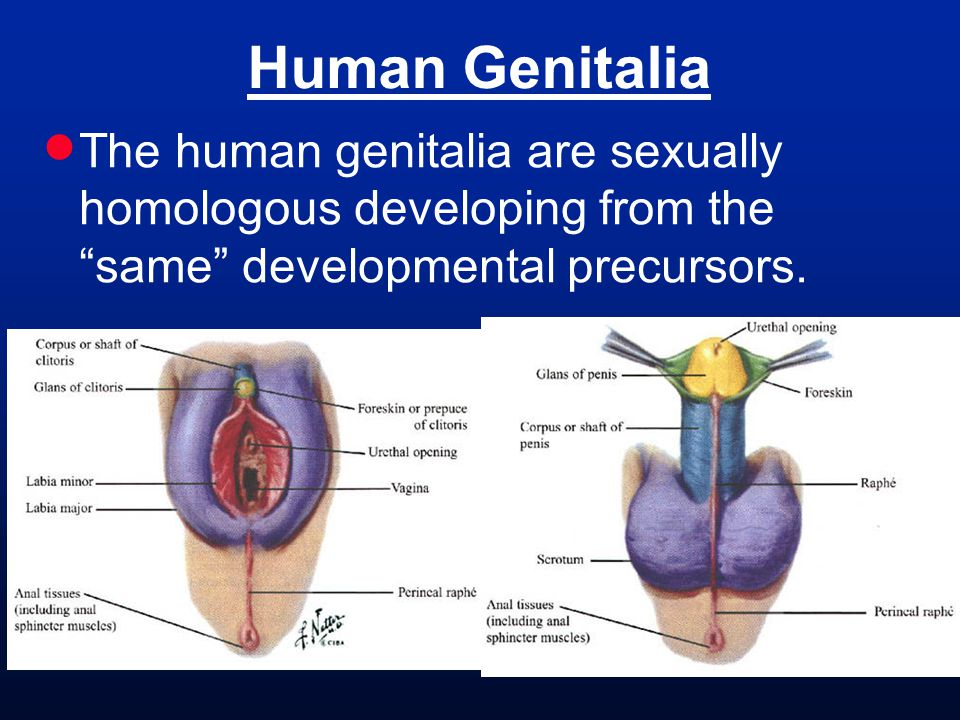  The human genitalia are sexually homologous developing from the same developmental precursors.