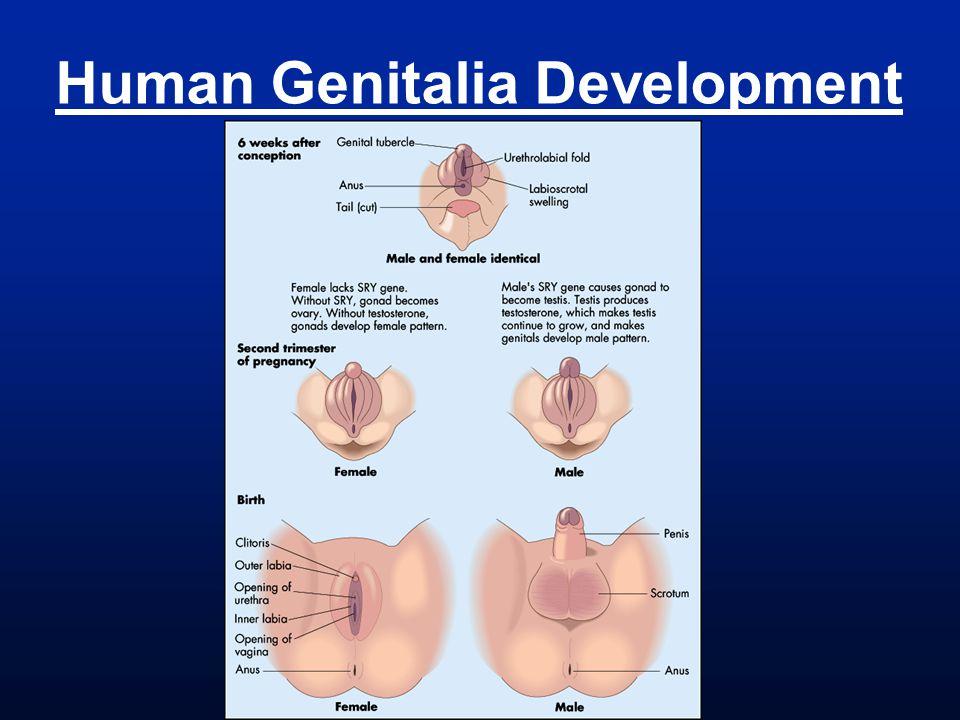 Human Genitalia Development
