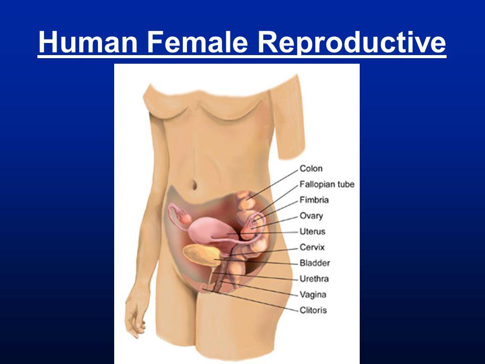 Human Female Reproductive