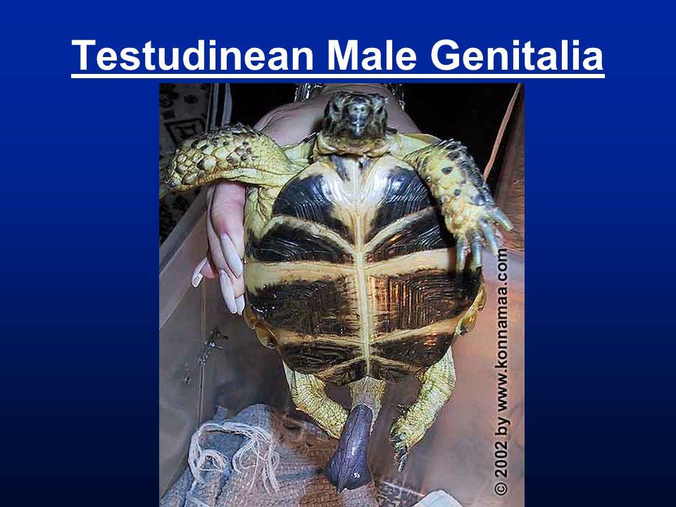 Testudinean Male Genitalia