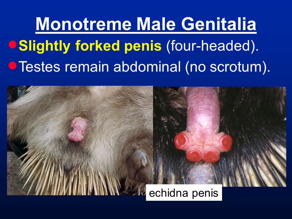 Monotreme Male Genitalia  Slightly forked penis (four-headed).