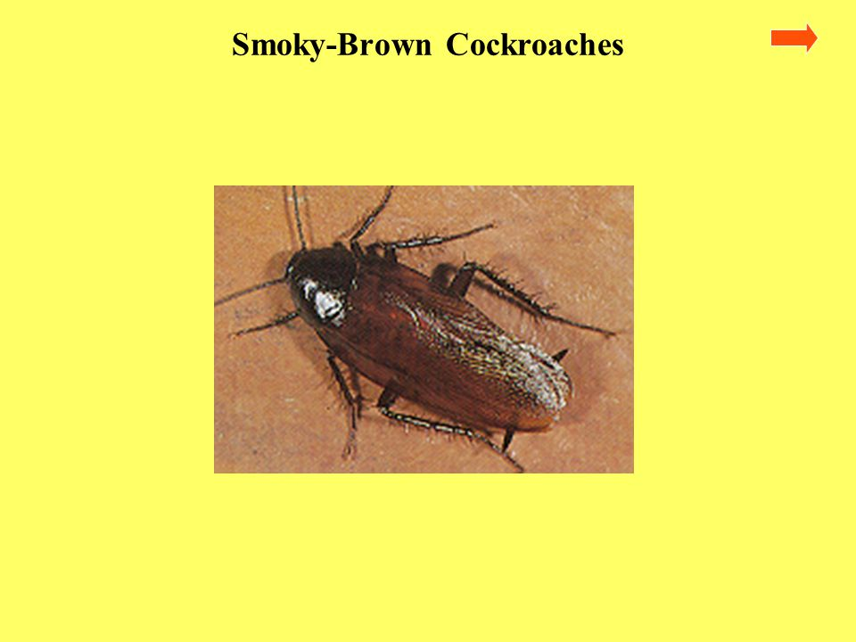Smoky-Brown Cockroaches