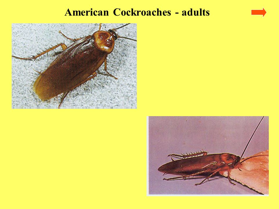 Life Cycle American cockroaches, like all other cockroaches have a gradual metamorphism The young resemble the adults and will be found in association with the adults.