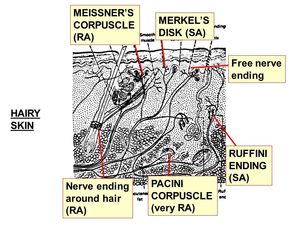 MERKEL'S DISK (SA) Free nerve ending PACINI CORPUSCLE (very RA) Nerve ending around hair (RA) HAIRY SKIN MEISSNER'S CORPUSCLE (RA) RUFFINI ENDING (SA)