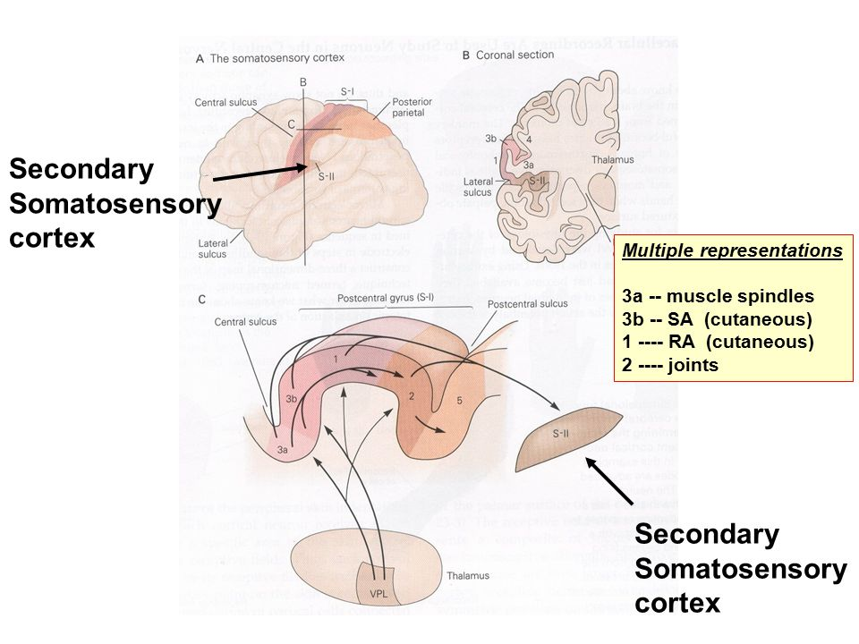 Secondary Somatosensory cortex Secondary Somatosensory cortex Multiple representations 3a -- muscle spindles 3b -- SA (cutaneous) 1 ---- RA (cutaneous) 2 ---- joints