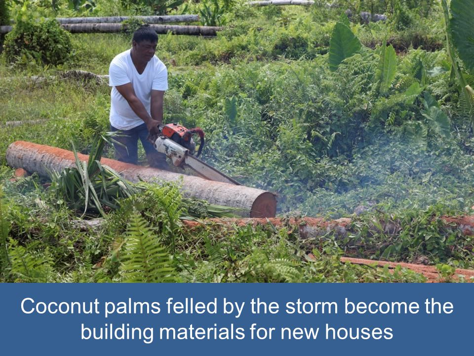 Coconut palms felled by the storm become the building materials for new houses