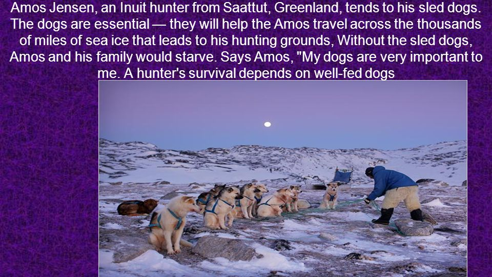 Amos Jensen, an Inuit hunter from Saattut, Greenland, tends to his sled dogs.