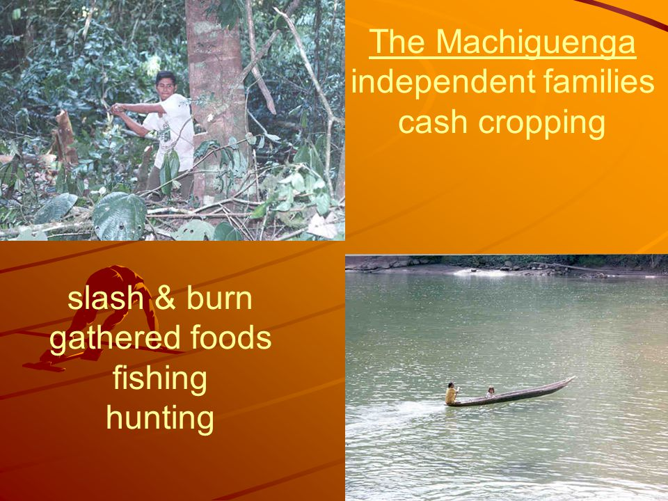 slash & burn gathered foods fishing hunting The Machiguenga independent families cash cropping