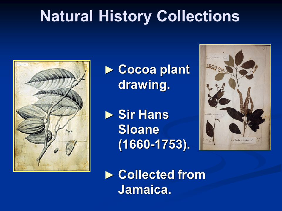 Natural History Collections ► Cocoa plant drawing. ► Sir Hans Sloane (1660-1753). ► Collected from Jamaica.