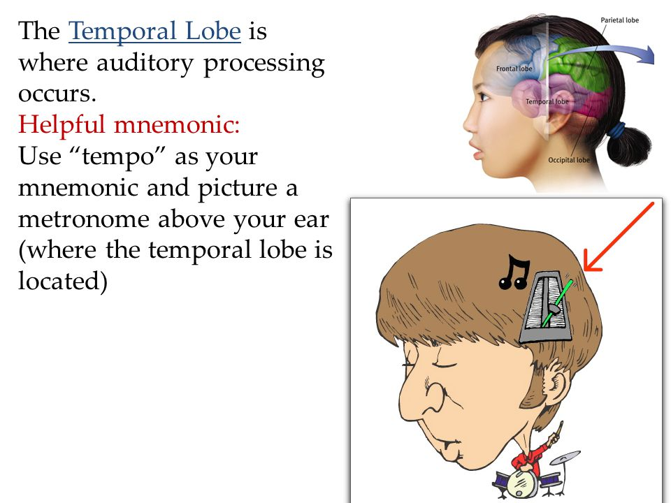 "The Temporal Lobe is where auditory processing occurs. Helpful mnemonic: Use ""tempo"" as your mnemonic and picture a metronome above your ear (where th"