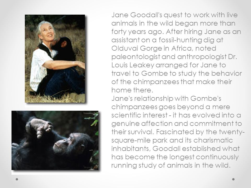 Jane Goodall's quest to work with live animals in the wild began more than forty years ago. After hiring Jane as an assistant on a fossil-hunting dig
