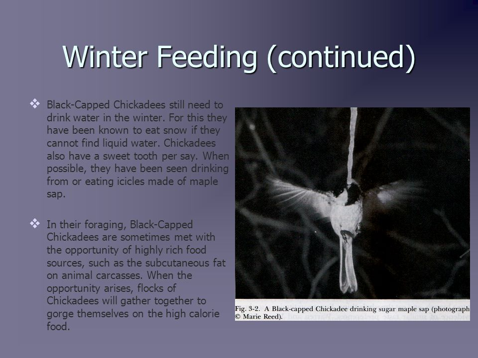 Winter Feeding (continued)   Black-Capped Chickadees still need to drink water in the winter.