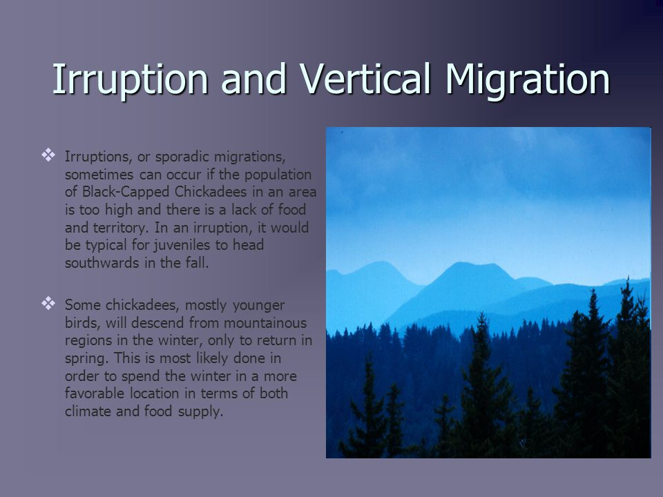 Irruption and Vertical Migration   Irruptions, or sporadic migrations, sometimes can occur if the population of Black-Capped Chickadees in an area is too high and there is a lack of food and territory.