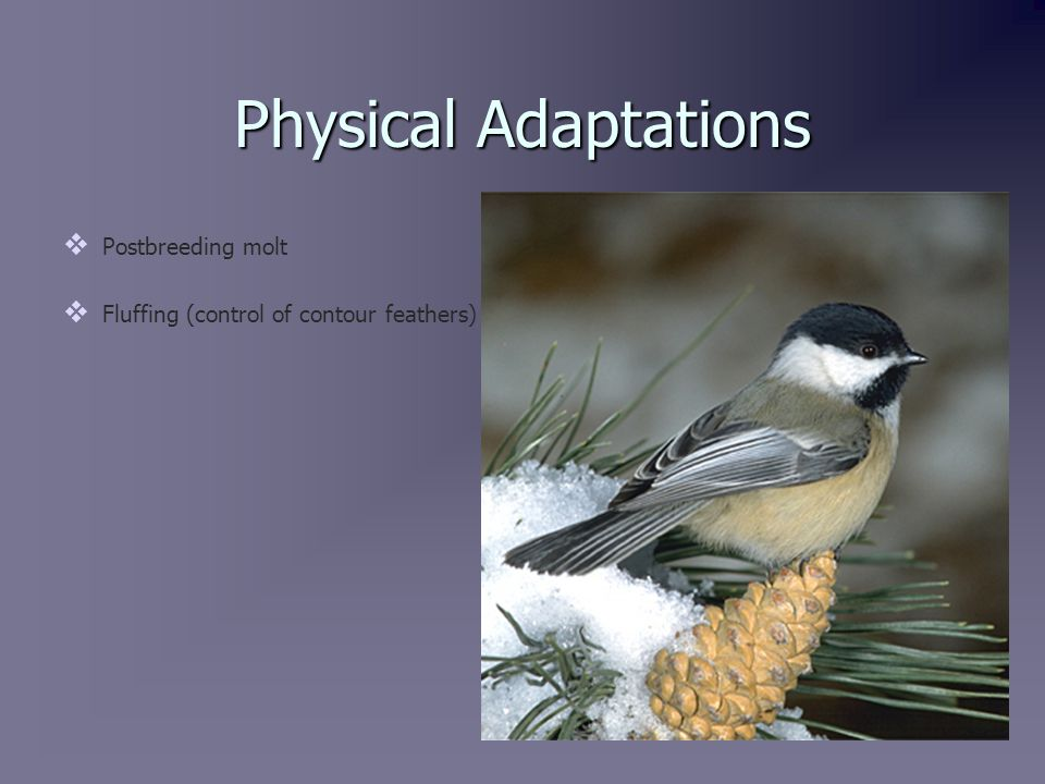 Physical Adaptations   Postbreeding molt   Fluffing (control of contour feathers)