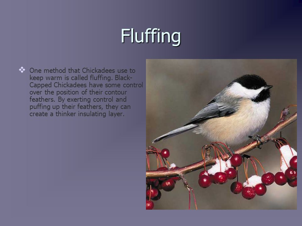 Fluffing   One method that Chickadees use to keep warm is called fluffing.