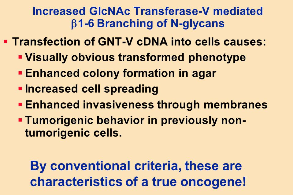 Increased GlcNAc Transferase-V mediated  1-6 Branching of N-glycans  Transfection of GNT-V cDNA into cells causes:  Visually obvious transformed ph