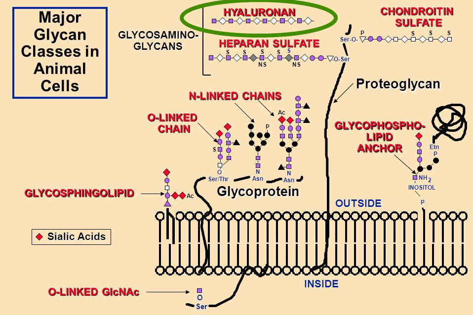 Major Glycan Classes in Animal Cells O Ser O Ser/Thr N Asn Ser-O- OUTSIDE INSIDE N Asn S SS -O-Ser S S S SS Etn P INOSITOL P NH Ac P NS S 2 P Glycopro
