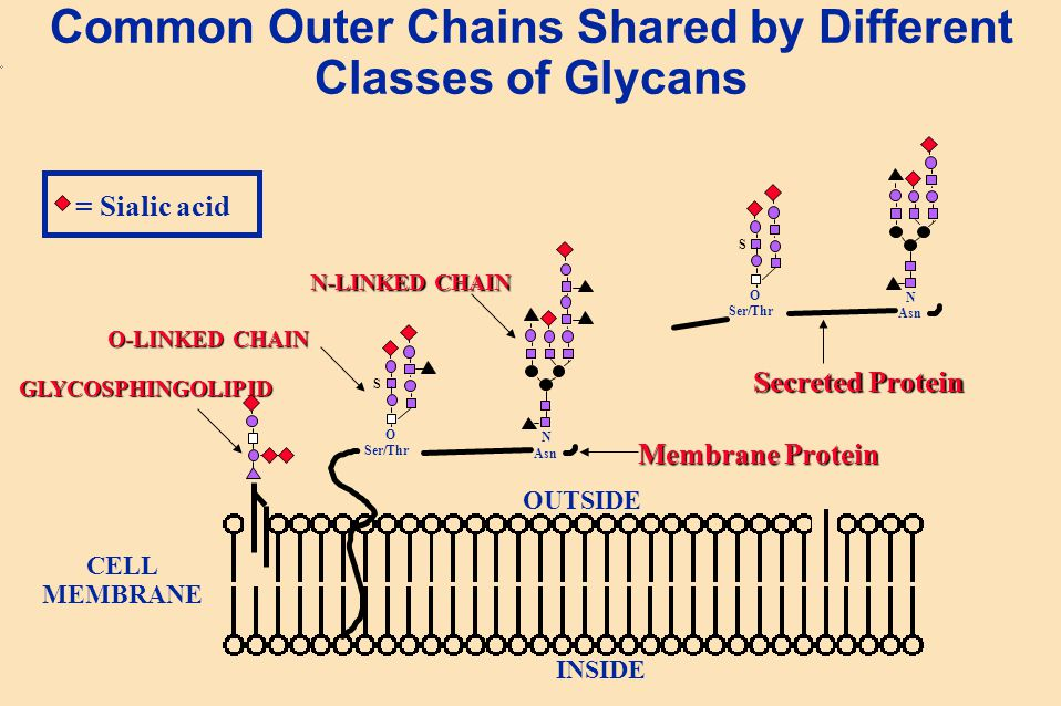 Common Outer Chains Shared by Different Classes of Glycans O Ser/Thr N Asn N-LINKED CHAIN O-LINKED CHAIN GLYCOSPHINGOLIPID OUTSIDE INSIDE S CELL MEMBR