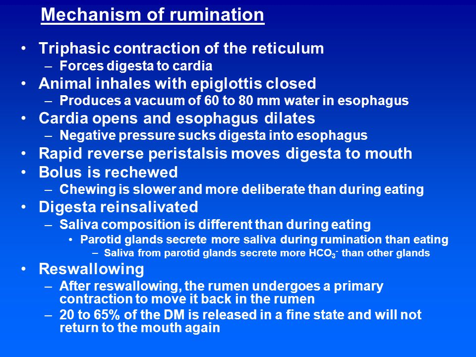 Mechanism of rumination Triphasic contraction of the reticulum –Forces digesta to cardia Animal inhales with epiglottis closed –Produces a vacuum of 60 to 80 mm water in esophagus Cardia opens and esophagus dilates –Negative pressure sucks digesta into esophagus Rapid reverse peristalsis moves digesta to mouth Bolus is rechewed –Chewing is slower and more deliberate than during eating Digesta reinsalivated –Saliva composition is different than during eating Parotid glands secrete more saliva during rumination than eating –Saliva from parotid glands secrete more HCO 3 - than other glands Reswallowing –After reswallowing, the rumen undergoes a primary contraction to move it back in the rumen –20 to 65% of the DM is released in a fine state and will not return to the mouth again