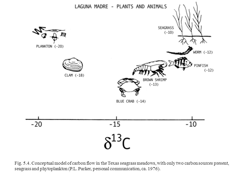 Fig. 5.4. Conceptual model of carbon flow in the Texas seagrass meadows, with only two carbon sources present, seagrass and phytoplankton (P.L. Parker