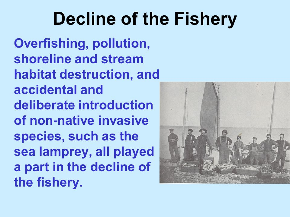 Decline of the Fishery Overfishing, pollution, shoreline and stream habitat destruction, and accidental and deliberate introduction of non-native invasive species, such as the sea lamprey, all played a part in the decline of the fishery.