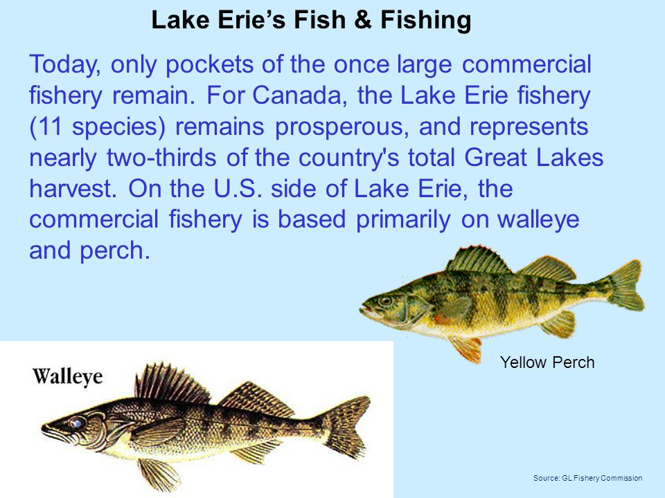 Lake Erie's Fish & Fishing Today, only pockets of the once large commercial fishery remain.