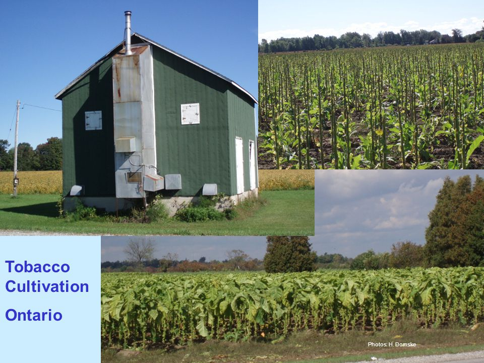 Tobacco Cultivation Ontario Photos: H. Domske