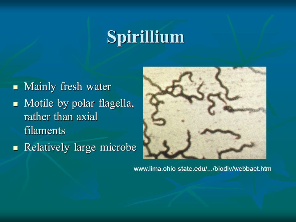 Spirillium Mainly fresh water Mainly fresh water Motile by polar flagella, rather than axial filaments Motile by polar flagella, rather than axial filaments Relatively large microbe Relatively large microbe www.lima.ohio-state.edu/.../biodiv/webbact.htm
