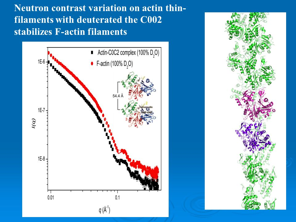 Neutron contrast variation on actin thin- filaments with deuterated the C002 stabilizes F-actin filaments