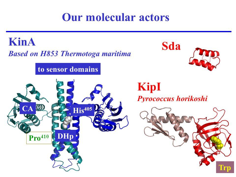 Our molecular actors KipI Pyrococcus horikoshi Sda KinA Based on H853 Thermotoga maritima Pro 410 His 405 Trp CA DHp to sensor domains