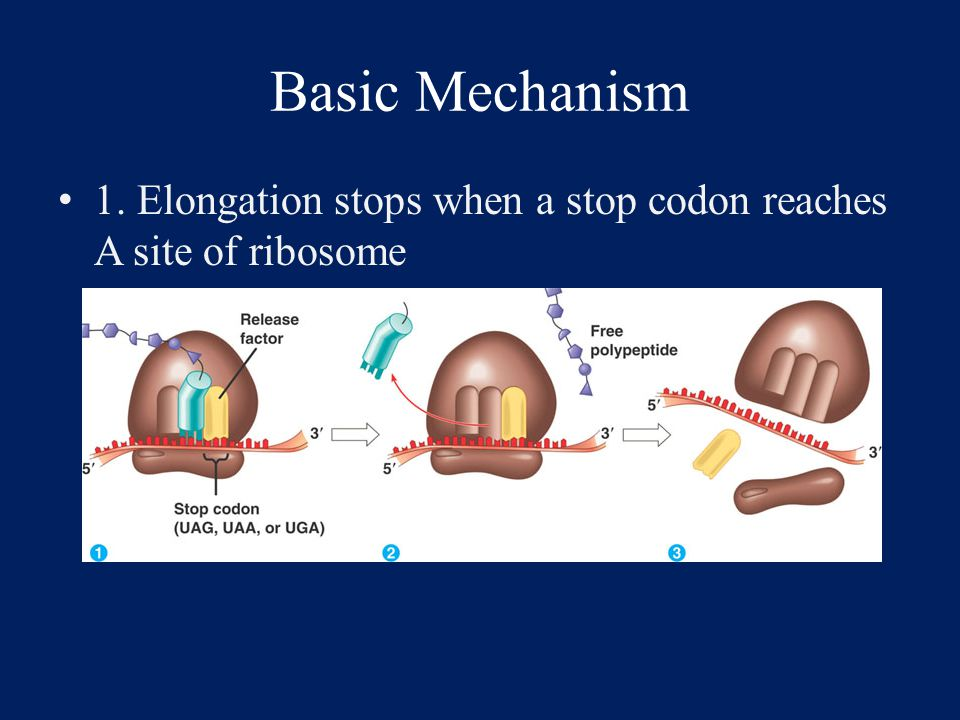 Basic Mechanism 2. Release factor binds to stop codon