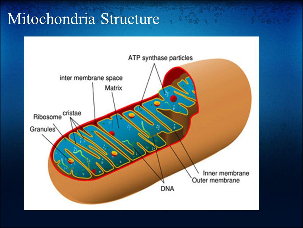 Mitochondria Structure