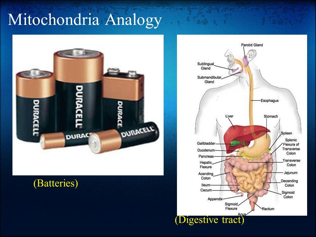 Mitochondria Analogy (Batteries) (Digestive tract)