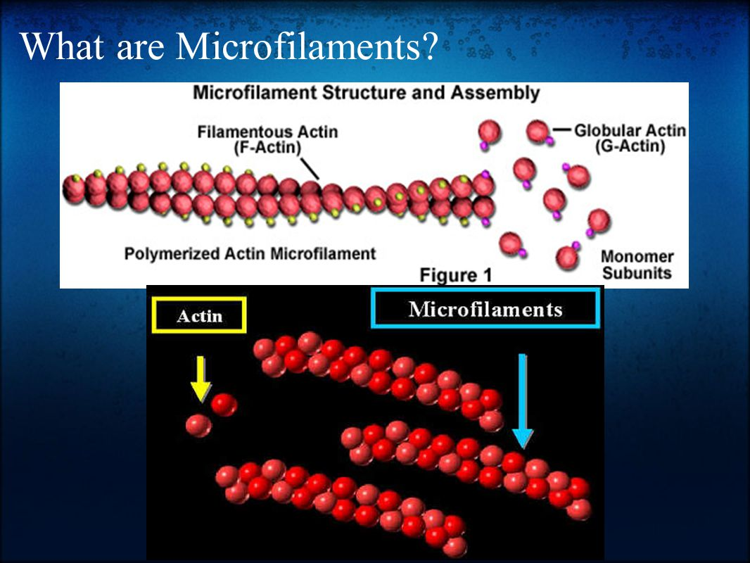 What are Microfilaments?